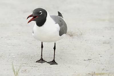 Photograph - Laughing Gull by Bradford Martin