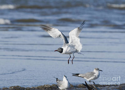 Photograph - Laughing Gull by Dan Suzio