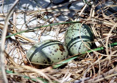 Photograph - Laughing Gull Eggs by Millard H. Sharp