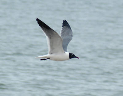 Photograph - Laughing Gull In Flight by Richard Bryce and Family