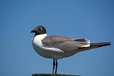 Laughing Gull Art Print by Kathi Isserman
