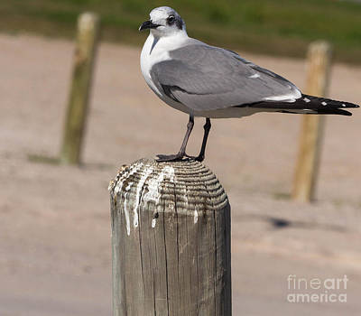 Photograph - Laughing Gull by Terry Cotton