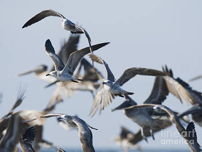 Photograph - Laughing Gulls by Dan Suzio