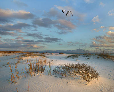 In Flight Photograph - Laughing Gulls Flying Over Dunes Gulf by Tim Fitzharris
