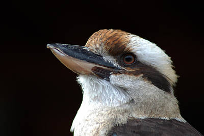 Photograph - Laughing Kookaburra by Bill Swartwout