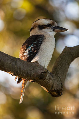 Photograph - Laughing Kookaburra Dacelo Novaeguineae by Gabor Pozsgai