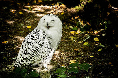 Photograph - Laughing Snow Owl by Patrick Boening