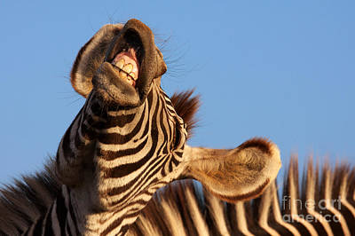 Art Print featuring the photograph Laughing Zebra by Nick  Biemans