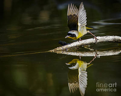 Common Yellowthroat Photograph - Launch by Carl Jackson