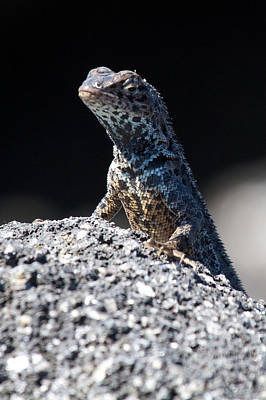 Photograph - Lava Lizard On Patrol by David Beebe