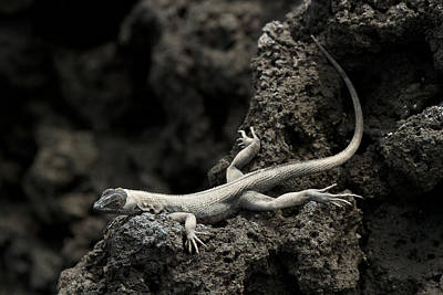 Photograph - Lava Lounge Lizard by David Beebe