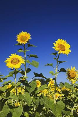 Thomas Kinkade - Laval, Quebec, Canada Sunflowers by Perry Mastrovito