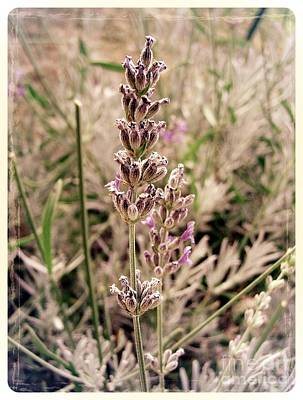 Photograph - Lavender 5 by Nina Ficur Feenan