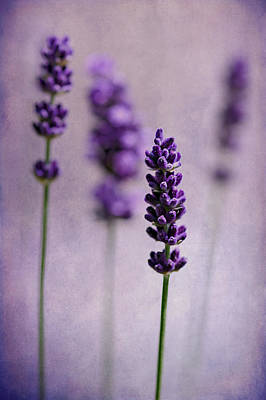 Photograph - Lavender by Barbara Corvino