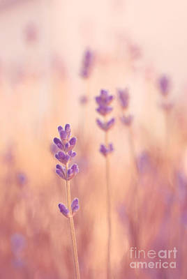 Soft Pink Photograph - Lavandines 02 - S09a by Variance Collections