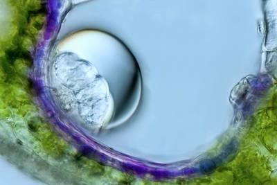 Lavandula Angustifolia Trichome Art Print by Gerd Guenther