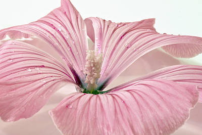 Lavatera Flowers Photograph - Lavatera Blossom With Rain Drops by Sandra Foster