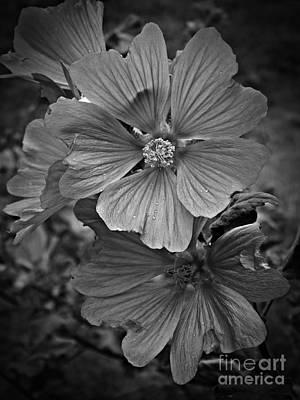 Photograph - Lavatera Splendor Monochrome 2 by Chalet Roome-Rigdon