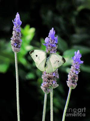 Lavendar And White Butterfly Original by Jennie Breeze