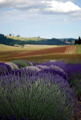Photograph - Lavendar Fields Forever by Mamie Gunning