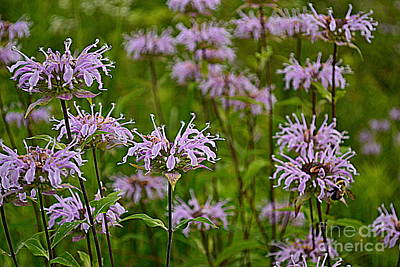 Indiana Photograph - Lavendar Fire Work Flowers by Amy Lucid