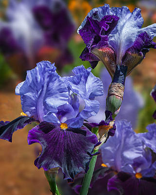 Photograph - Lavender Iris by Mary Almond