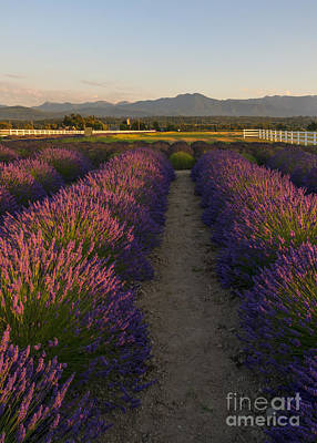 Photograph - Lavendar Path by Mike Dawson