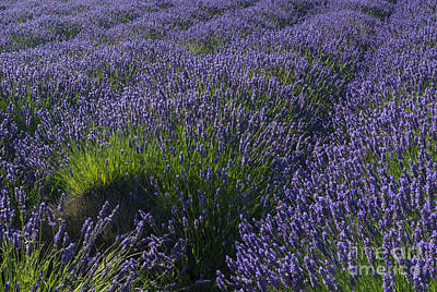 Photograph - Lavendar Rows by Mike Dawson