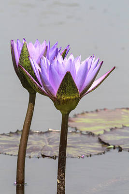 Photograph - Lavendar Waterlily by Jill Bell