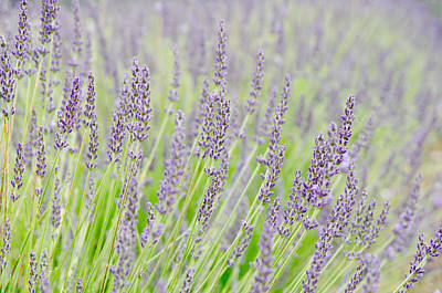Canada Photograph - Lavender 1 by Rob Huntley