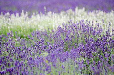 Rights Managed Images Photograph - Lavender 4 by Rob Huntley