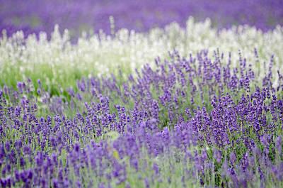 Lavender 4 Art Print by Rob Huntley
