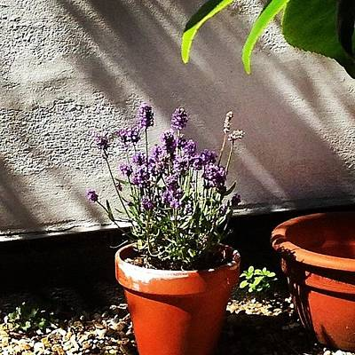Lavender Photograph - #lavender by Yossarian Crowe