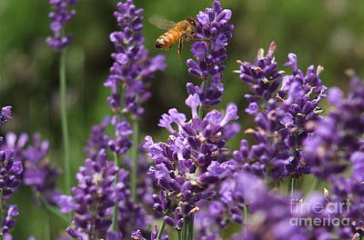 Photograph - Lavender  And Bee  by Vicky Tarcau