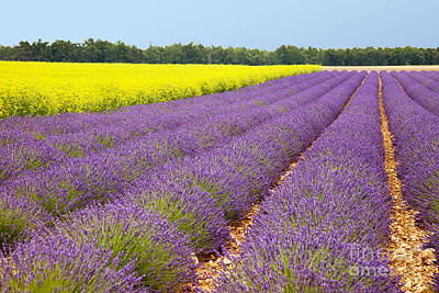 Photograph - Lavender And Mustard by Brian Jannsen