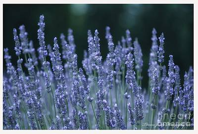 Photograph - Lavender Beauty by Tamera James
