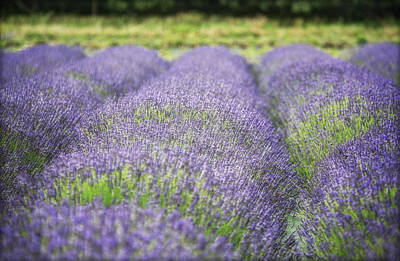 Lavender Blooms Art Print