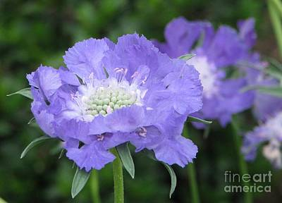 Photograph - Lavender Blue Pincushion Flower by Judyann Matthews