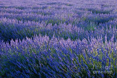 Photograph - Lavender by Brian Jannsen