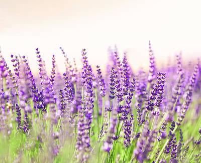 Photograph - Lavender by Brzozowska