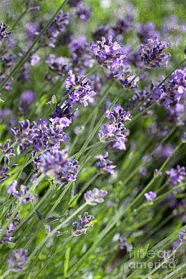 Photograph - Lavender by Cindy Singleton