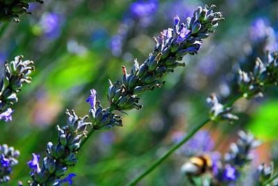 Photograph - Lavender by Dany Lison