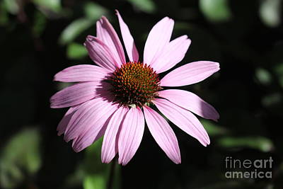 Photograph - Lavender Echinacea by Donna L Munro
