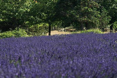 Photograph - Lavender Field And Trees by Phoenix De Vries