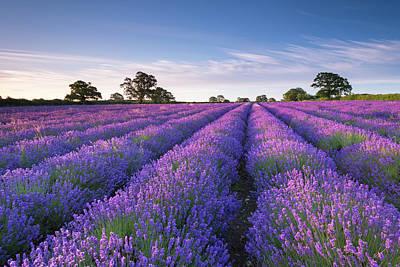Photograph - Lavender Field At Dawn, Somerset by Adam Burton / Robertharding