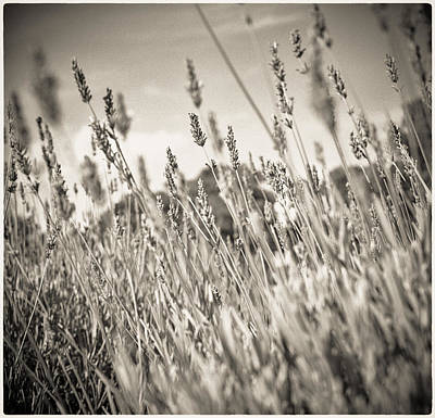 Photograph - Lavender Field At Ham House by Lenny Carter