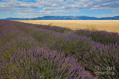 Lavender Field, French Provence Art Print