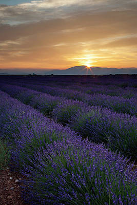 Photograph - Lavender Field Just Before Dawn Near by Danita Delimont