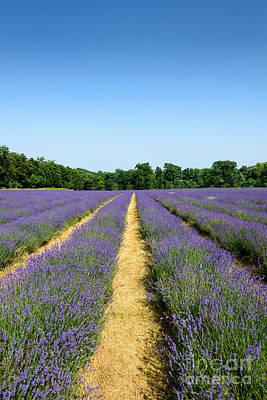 Photograph - Lavender Field Portrait by Matt Malloy