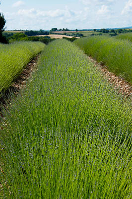 Provence Photograph - Lavender Field, Route De Manosque by Panoramic Images